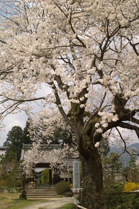 松源寺のエドヒガンザクラ(下伊那郡高森町) - 2011/4/16(土)