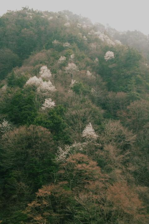 山桜(飯田市上村) - 2011/4/16(土)
