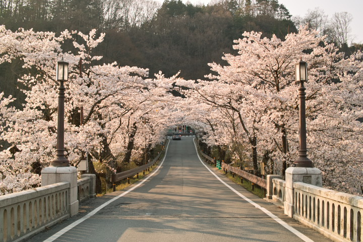 坂戸橋を彩る桜(中川村) - 2011/4/16(土)