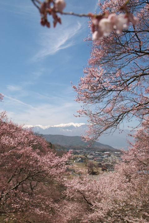 高遠城址公園の桜、まだまだ(伊那市高遠町) - 2011/4/17(日)
