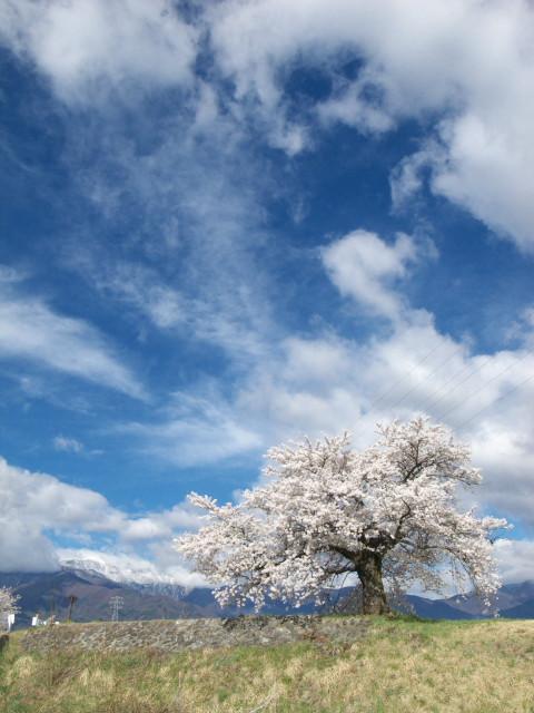 三峰川青島堤防の桜(伊那市) - 2011/4/20(水)