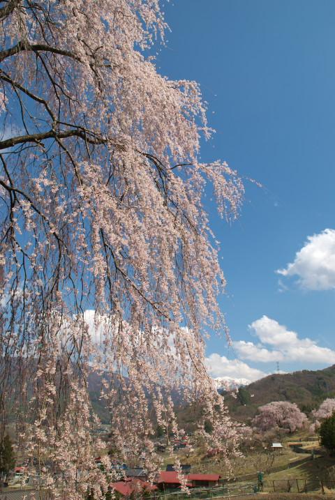 五郎山登山口の枝垂れ桜(伊那市) - 2011/4/24(日)