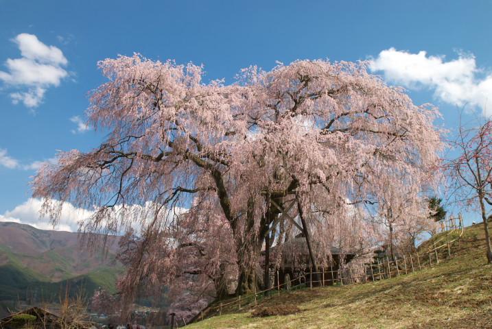 勝間薬師堂の枝垂れ桜(伊那市高遠町) - 2011/4/24(日)