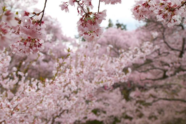 高遠城址公園、桜まみれ(伊那市高遠町) - 2011/4/24(日)