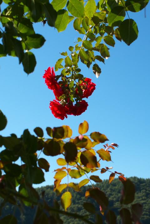 高遠しんわの丘ローズガーデン 秋のバラ祭り前(伊那市高遠町) - 2011/9/24(土)