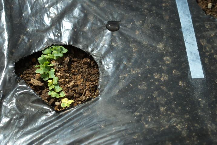 [家庭菜園] いよいよトマトの苗植え - 2012/5/3(木)