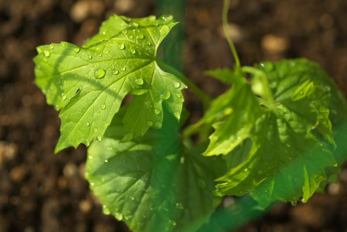 緑のカーテン準備 - 2012/5/26(土)