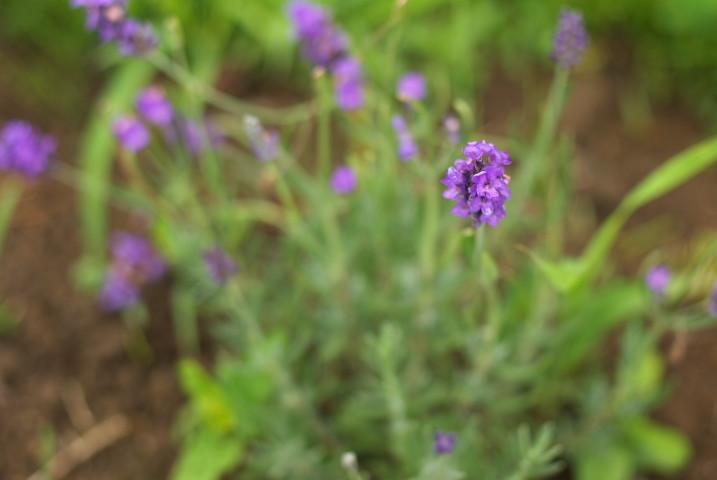 [家庭菜園] うろうろしたり、葉ねぎ植えたり、うろうろしたり。- 2012/6/16(土)