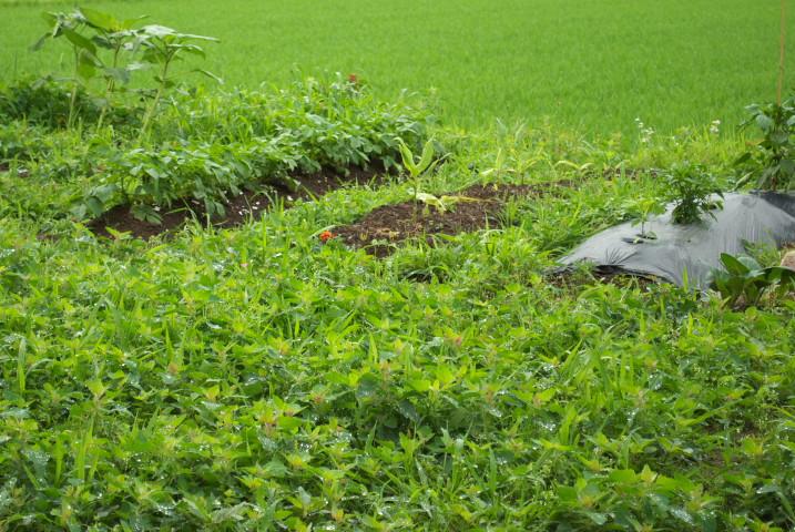 みどりの家庭菜園 - 2012/6/22(金)