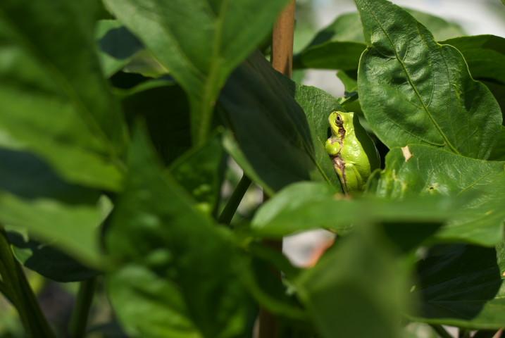 緑のパプリカと緑のかえる - 2012/6/30(土)