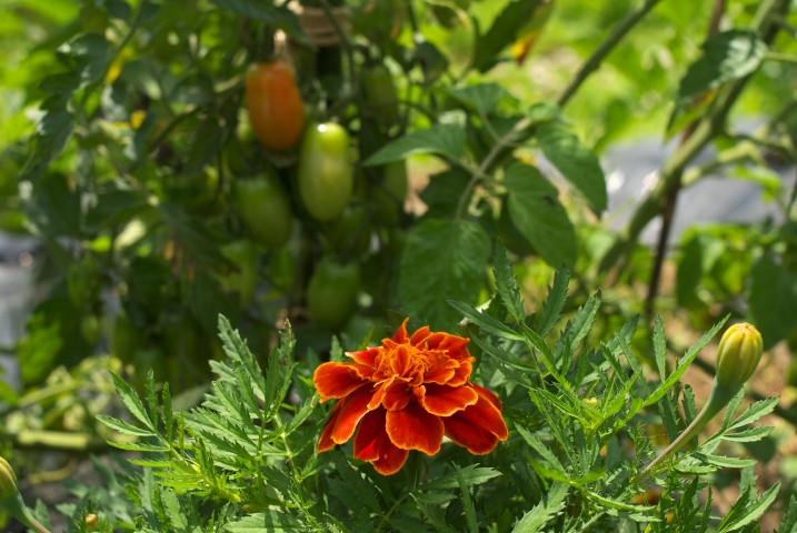 [コンパニオンプランツ] トマトとマリーゴールド