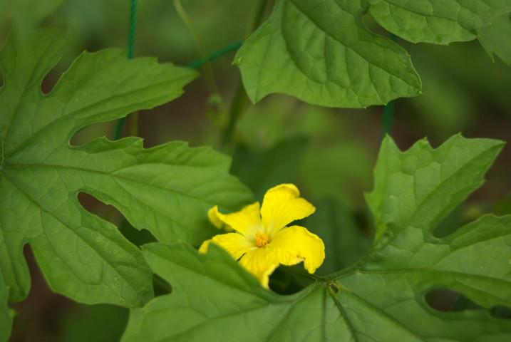 アバシゴーヤの花