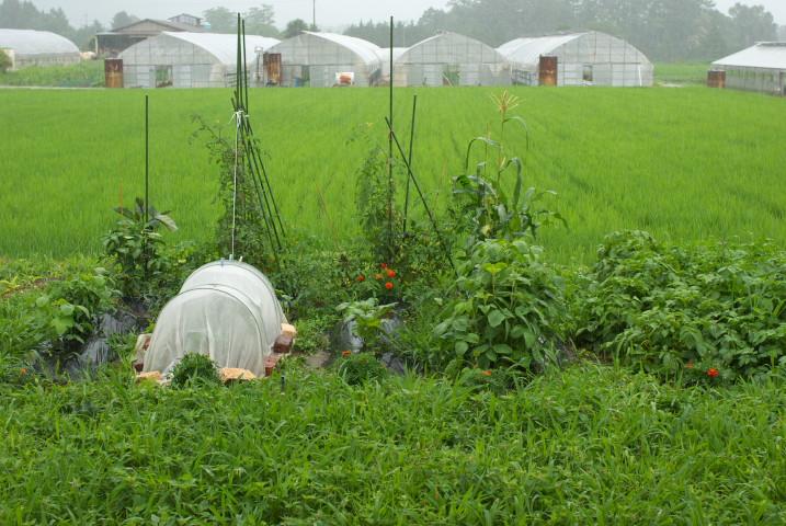 [家庭菜園] 庭の花とか、畑の花とか - 2012/7/7(土)