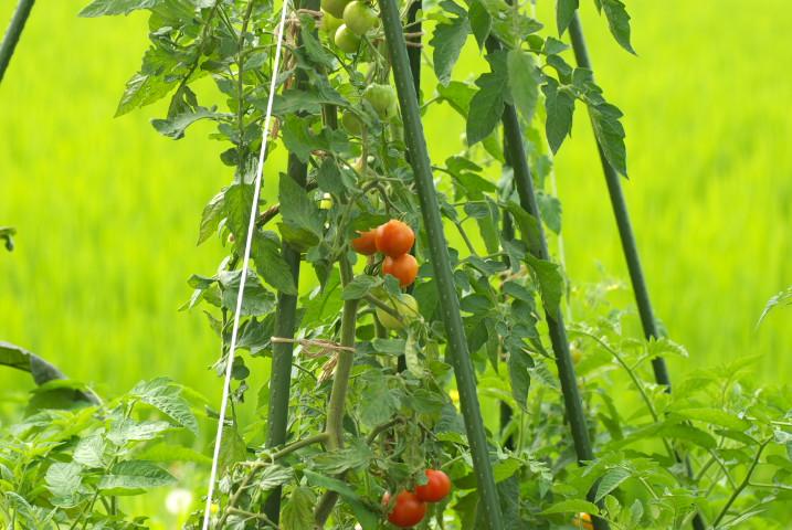 [家庭菜園] 収穫物(ゴーヤやオクラなど) - 2012/7/29(日)