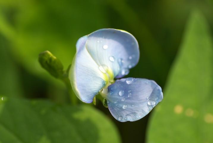 シカクマメ(ウズリン)の花