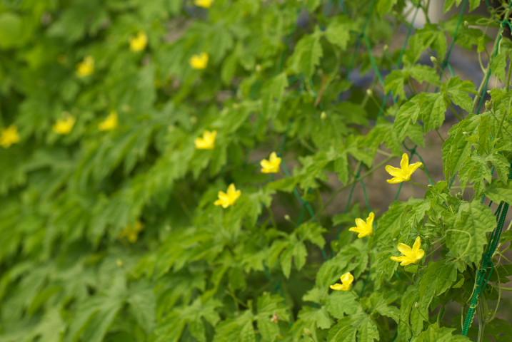 ゴーヤの花と初収穫 - 2012/7/29(日)