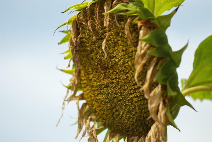 [家庭菜園] 玉葱の種球(たねたま)
