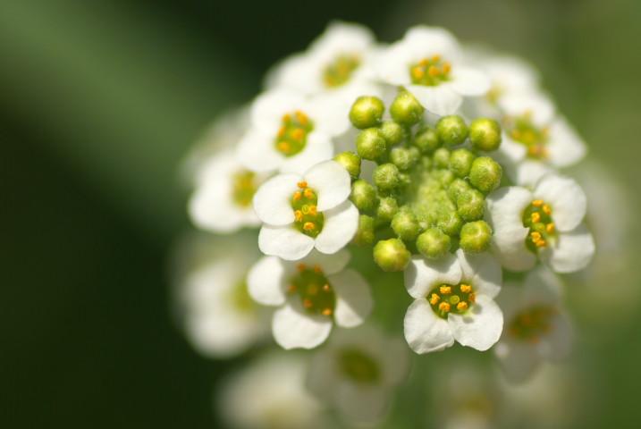 [家庭菜園] バジルの花とか