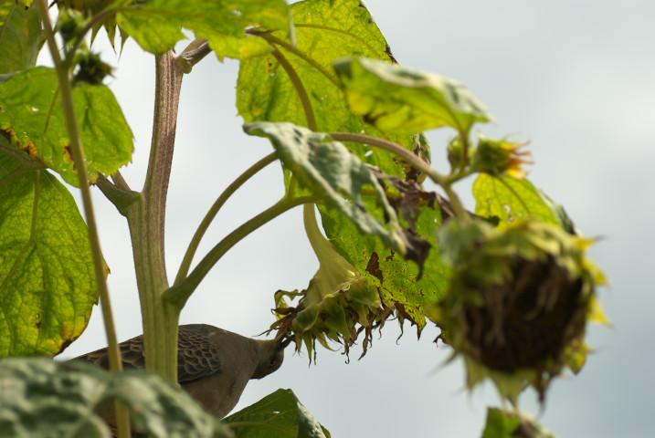 向日葵と鳩
