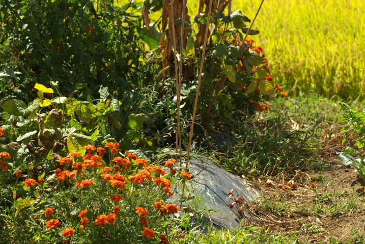 [家庭菜園] 夏野菜から秋冬野菜へ。白菜と大蒜の土作り - 2012/9/9(日)