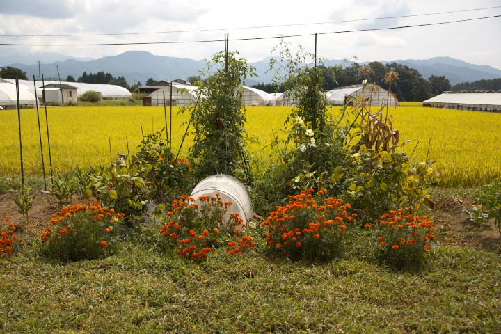 苦瓜のカーテン 水稲の絨毯 - 2012/9/9(日)
