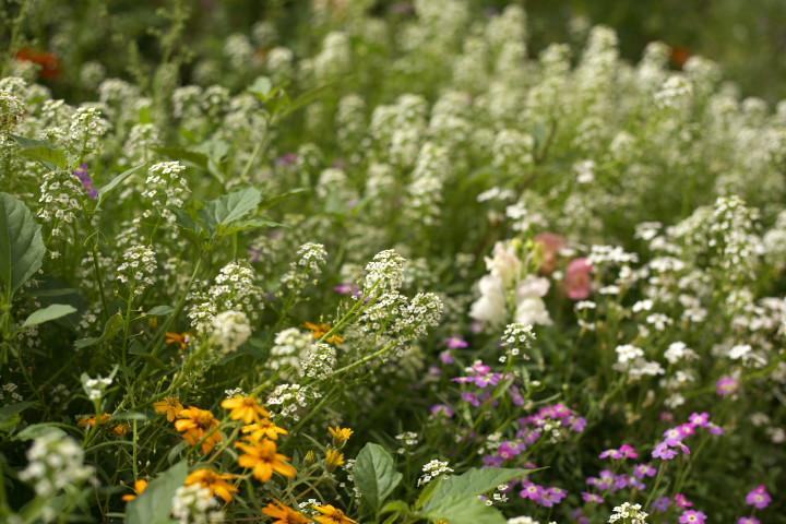 [家庭菜園] 秋の花花とか