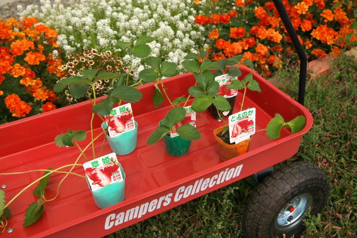 [家庭菜園] 苺の定植とか