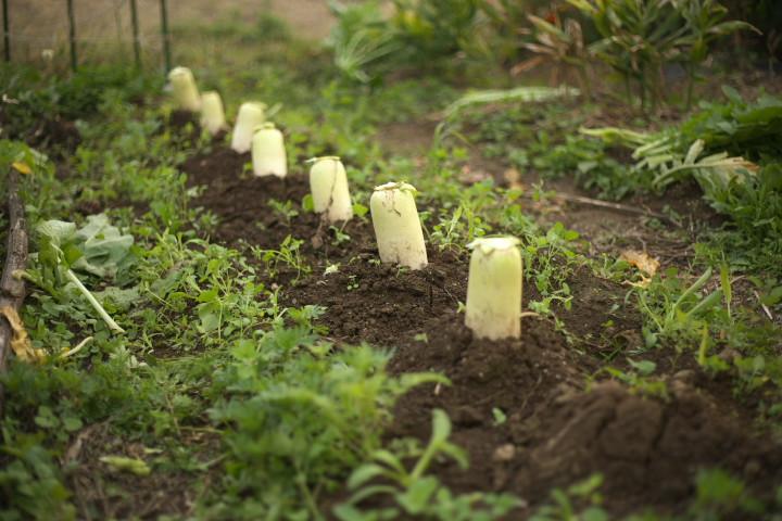 大根の収穫と埋蔵