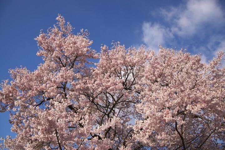 六道の堤の桜をぐるり(伊那市)