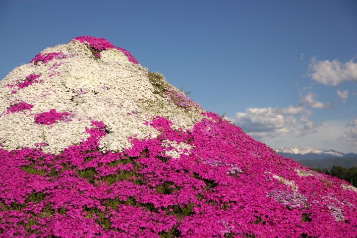 小沢花の会の芝桜(伊那市) - 2013/5/12(日)
