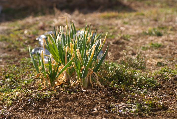 [家庭菜園始動] 韮、葉葱の様子とスナップエンドウの準備とか - 2013/3/17(日)