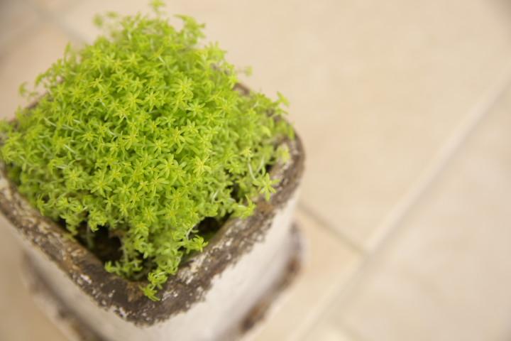 [家庭菜園] じゃが芋の浴光催芽