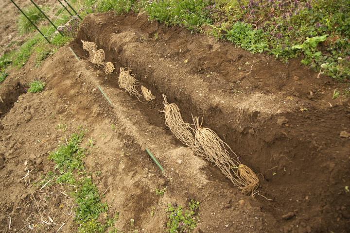 アスパラガス(根株)の植え付け