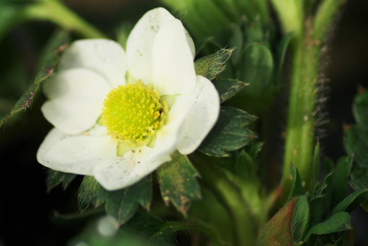 [家庭菜園] 苺の一番花