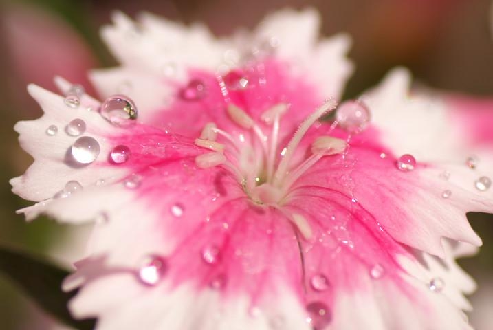 [庭の花] 撫子、芝桜、ワイルドストロベリー - 2013/4/28(日)