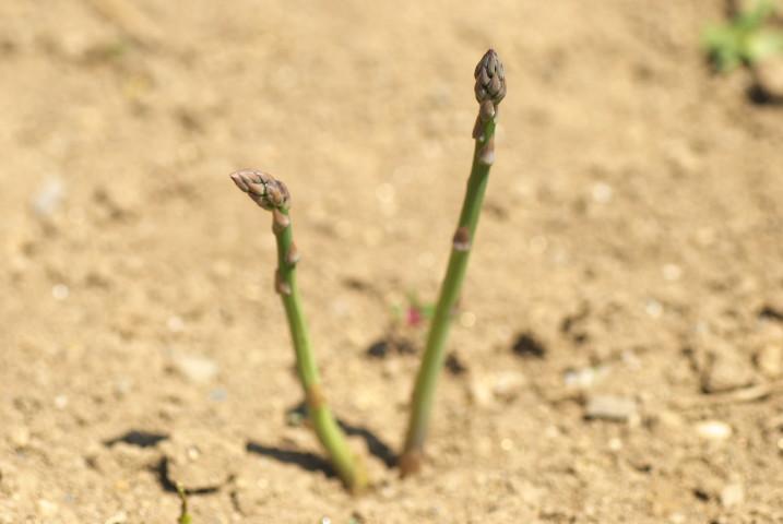 [家庭菜園] アスパラガスの生長 - 2013/4/30(火)