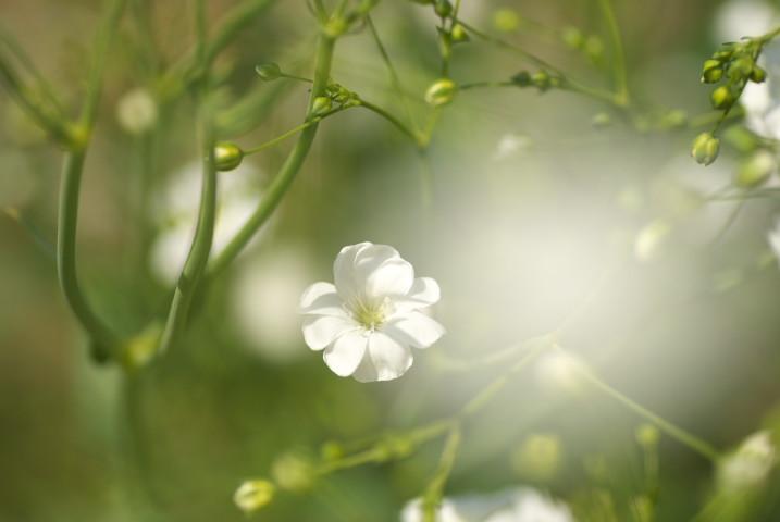 [家庭菜園] 野良カモミール(かみつれ) - 2013/5/17(金)