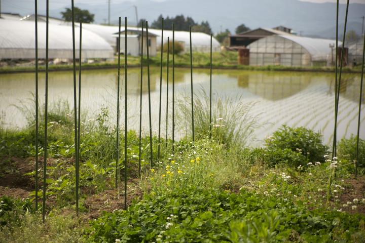 [家庭菜園] アスパラガスの畝