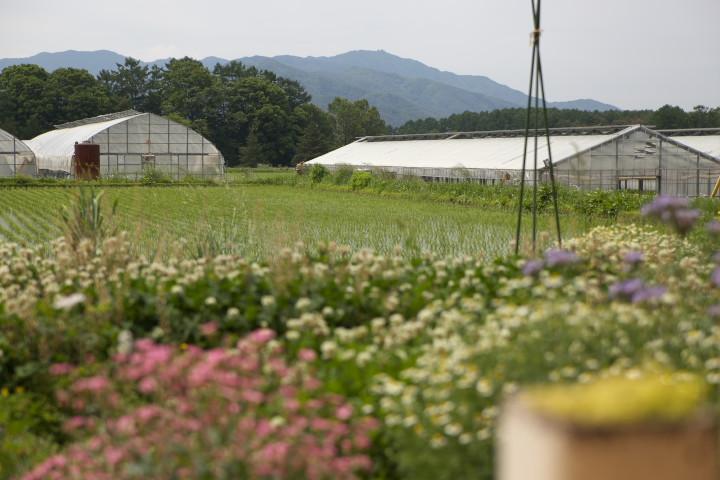 [家庭菜園] 大蒜の芽 - 2013/6/1(土)