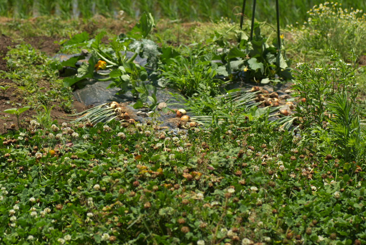 玉葱の収穫と乾燥 - 2013/6/16(日)