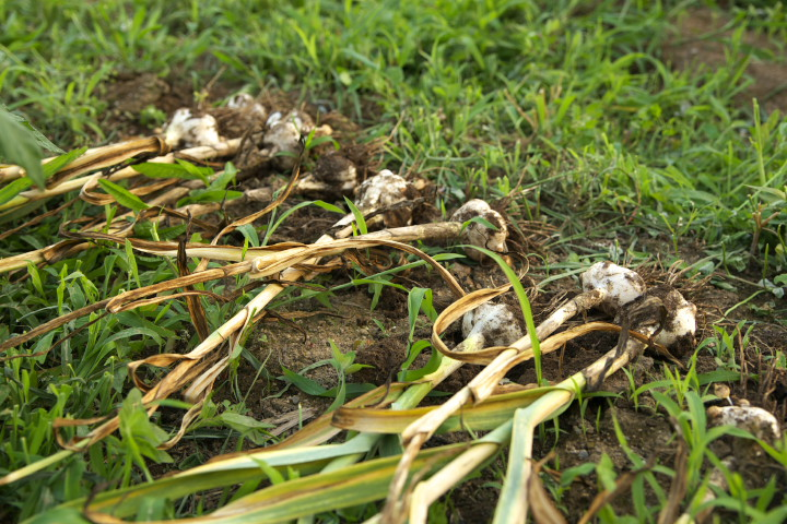 大蒜の収穫から食卓まで
