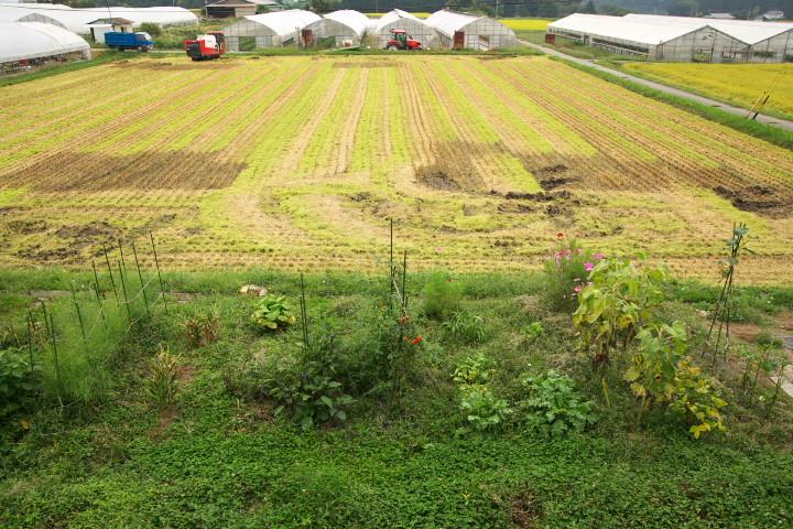 庭の前の稲刈り - 2013/9/14(土)