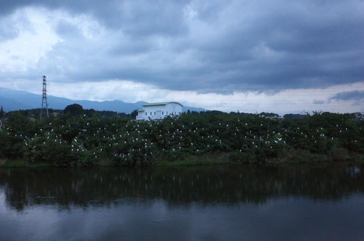 天竜川ほとりの鷺たち