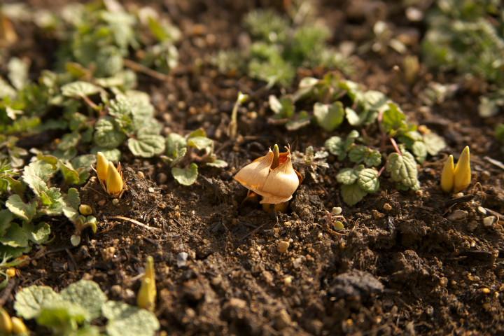 [冬の庭] クロッカスの芽