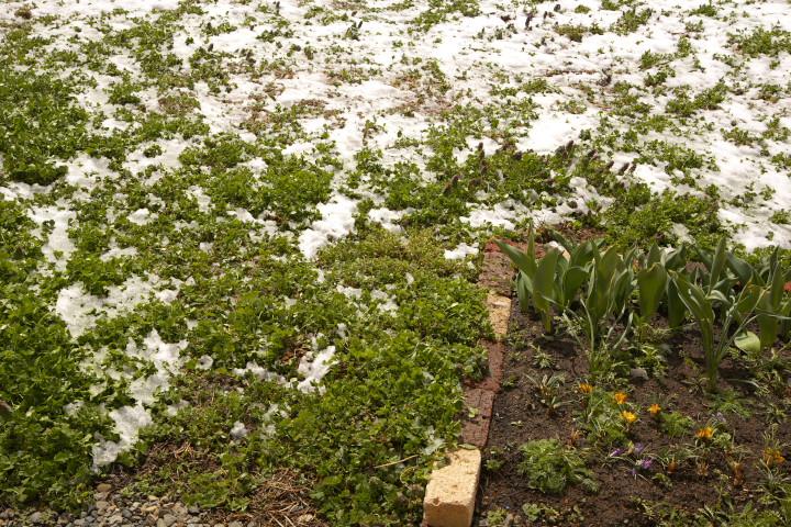 白詰草と雪